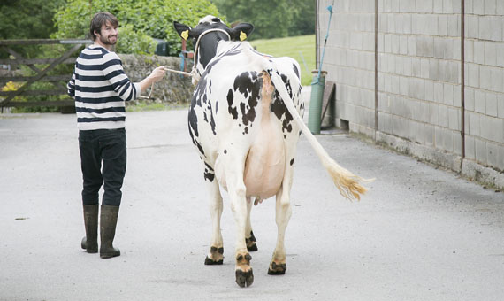 Sam Moorhouse leading Kitty towards her photo shoot. She is one of the members of the Holstein Freisian herd as Hesper Farm, home of Yorkshire Skyr.